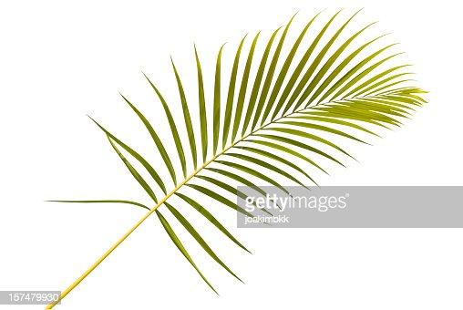 Palm leaf against white background