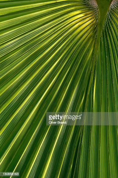 Palm leaf, arecaceae