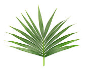 Palm leaf isolated on white background. Closeup of a branch of the coconut tree.