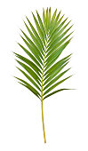Isolated on a pure white background, a single palm leaf is cut out and the file contains a clipping path to easily select it. The leaf can be used as a design element.