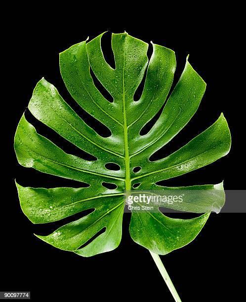 Palm leaf on black