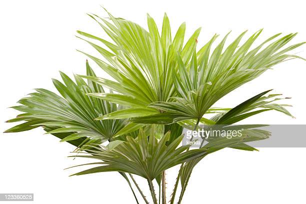 Palm leafes