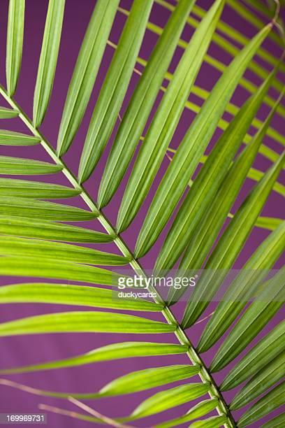 Hojas de palma sobre fondo púrpura