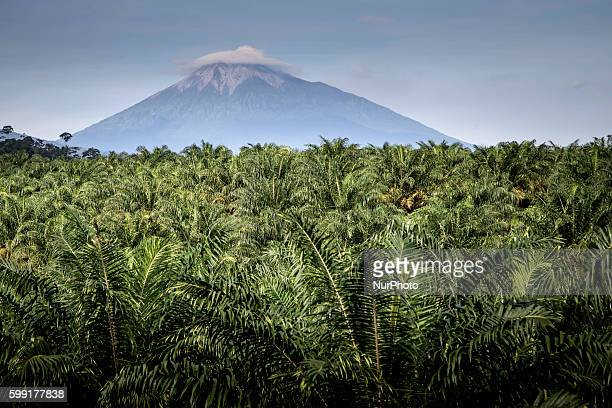 Palm Oil Trees with Kerinci Mountain back ground in West Sumatera Indonesia on 04 September 2016 Palm oil is a type of edible vegetable oil that is...