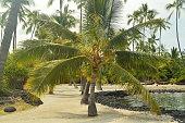 Palm On Hawaii, USA, EEUU.