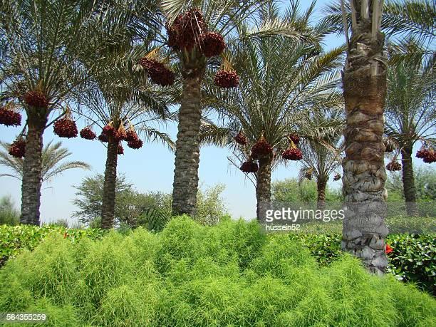 Palm red date Green land grass