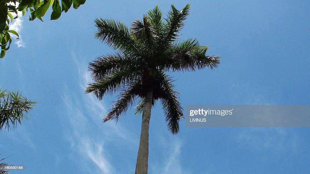 Palmera contra el cielo azul : Foto de stock