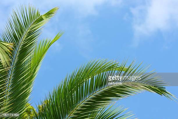 Palmtree 葉