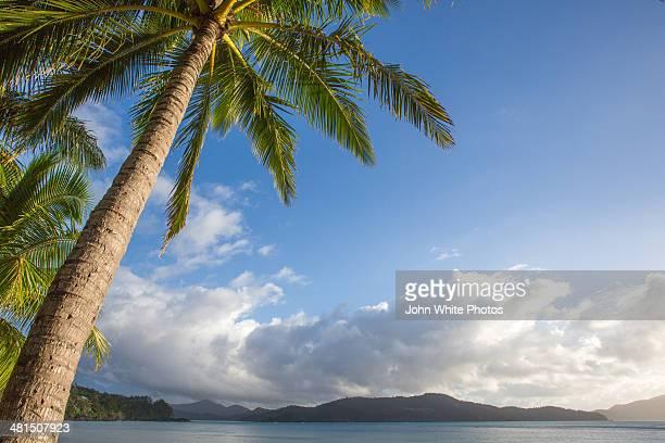 Palm tree. Hamilton Island. Queensland. Australia.