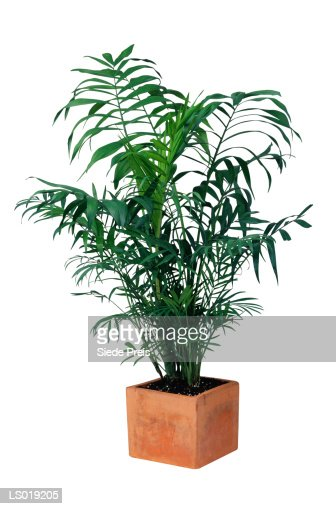 Palm Tree in Planter