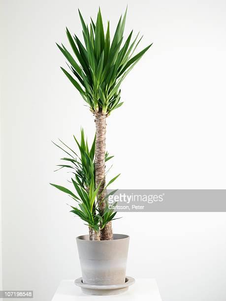 Palm tree in pot