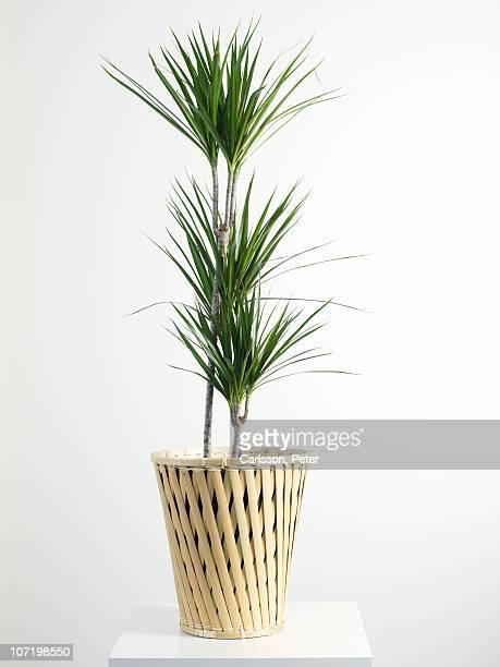 Palm tree in wicker basket