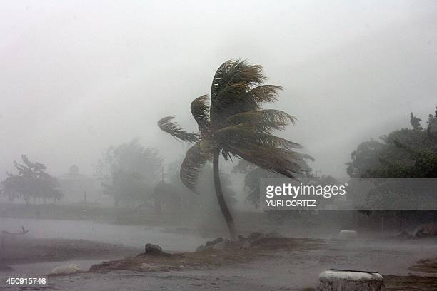 A palm tree is hit by winds near the beach during heavy rain in the City port of La Ceiba Honduras as hurricane Felix approaches 04 September 2007 As...