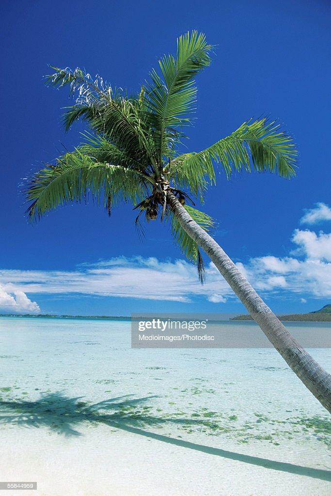 Palm tree leaning over the beach, Motu Tofari Beach, Bora Bora, French Polynesia
