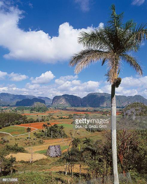 Palm tree on a hill Mogotes Hill Vinales Valley Pinar Del Rio Cuba