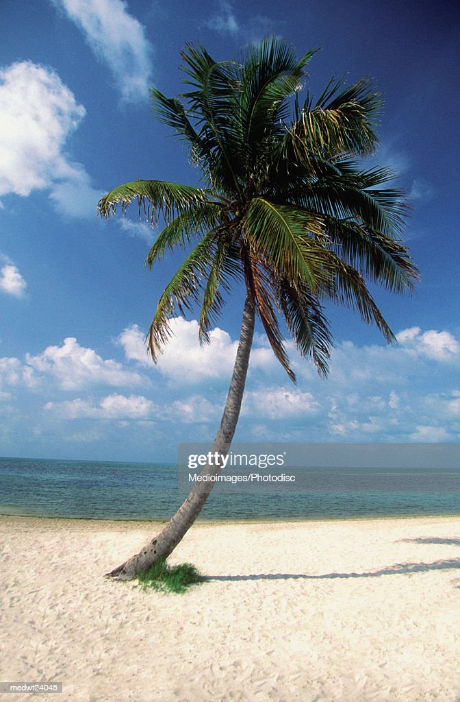 Palm tree on George Smathers Beach in Key West, Florida, USA : Stock Photo