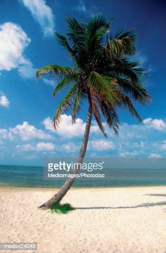 Palm tree on George Smathers Beach in Key West, Florida, USA : Bildbanksbilder