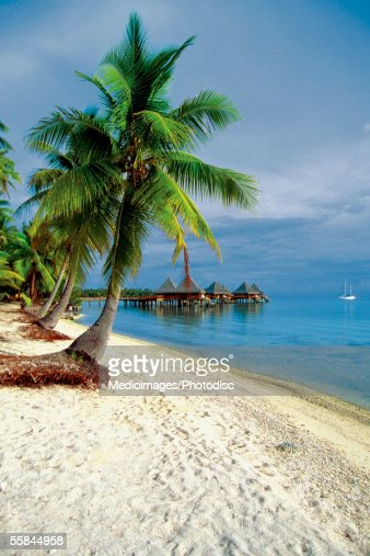Palm tree on the beach, Rangiroa Lagoon, Tuamotu Islands, French Polynesia : Stock Photo
