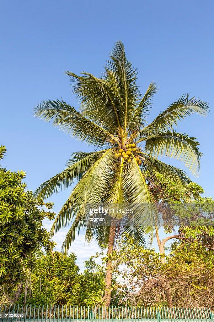 Palm Tree : Stock Photo