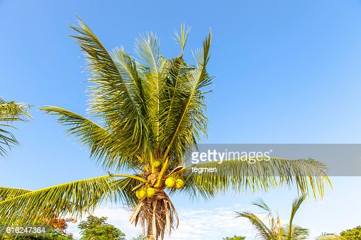 Palm Tree  : Foto de stock