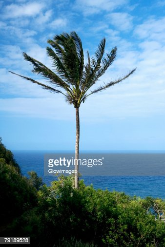 Palm tree swaying on the beach, Pololu Valley, Kohala, Big Island, Hawaii Islands, USA : Stock Photo