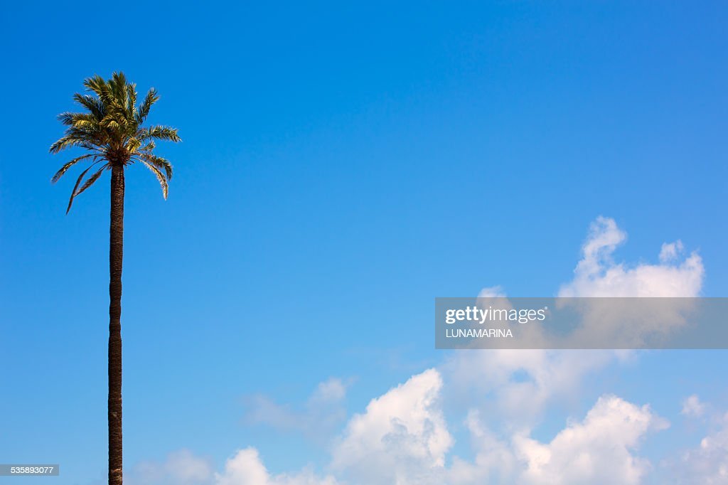 palm tree Washingtonia California style on blue sky : Stock Photo