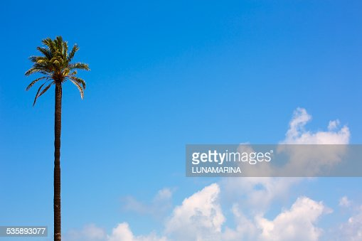 Palmier Washingtonia style californien sur ciel bleu : Photo