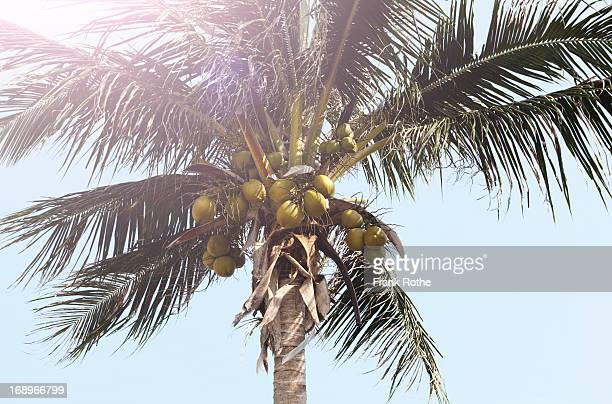 palm tree with lots of coconuts in the bright sun