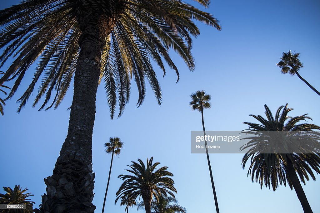 Palm trees against blue sky, Beverly Hills