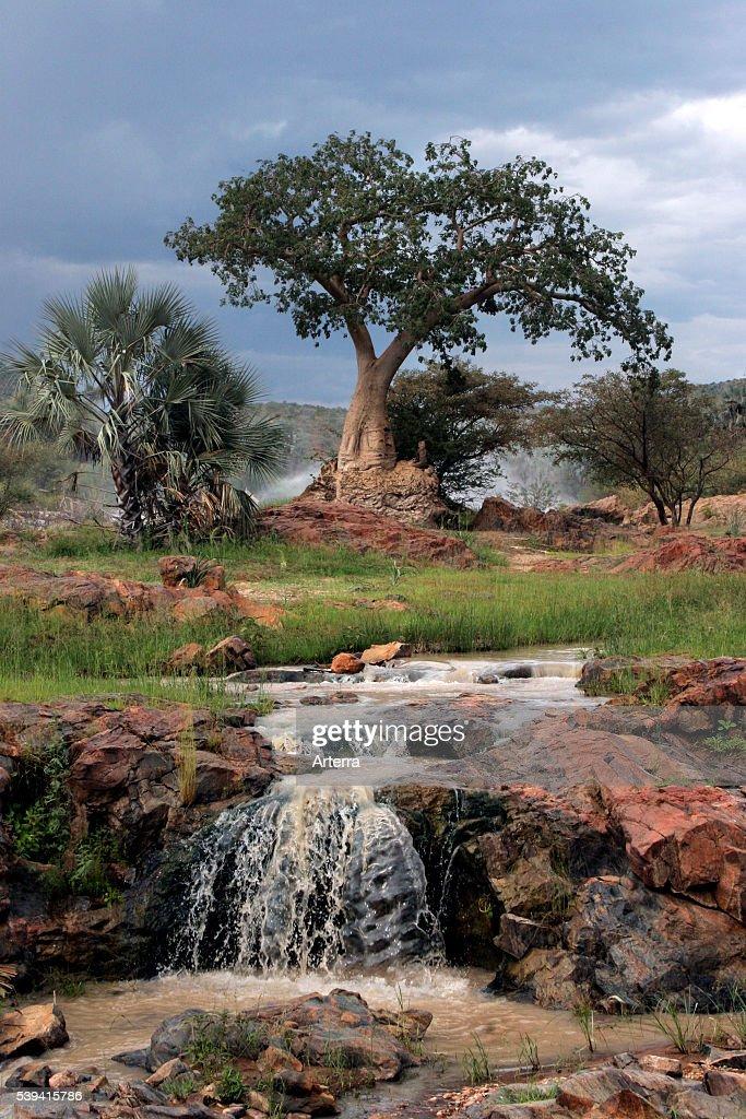 Palm trees and baobab tree beside Kunene river at Epupa falls Kaokoveld Namibia South Africa