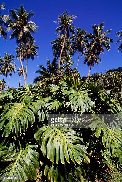 Palm trees and Monstera leaves in the botanical garden of Mataiea Tahiti French Polynesia