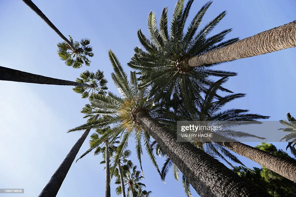 Palm trees are pictured on a sunny day on November 14, 2012 the French riviera city of Cannes.