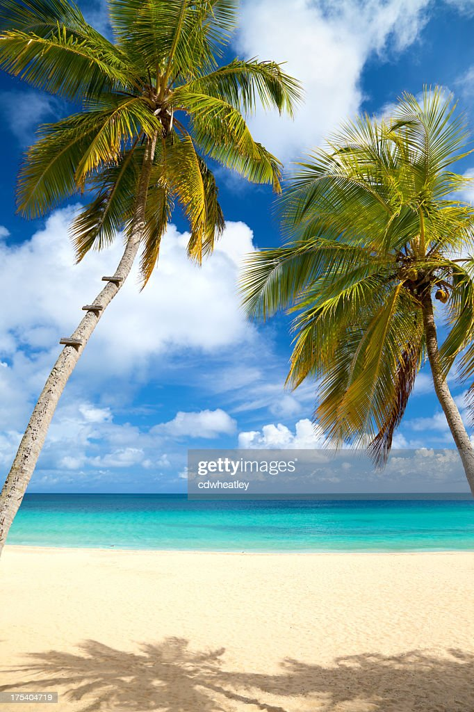 Palm Trees At A Tropical Beach In The Caribbean Stock