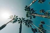 Palm tree in California, USA.