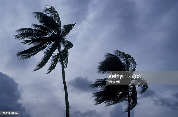 Palm trees in hurricane winds