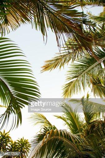 Palm trees, low angle