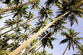 Palm trees (Palma sp.), low angle view