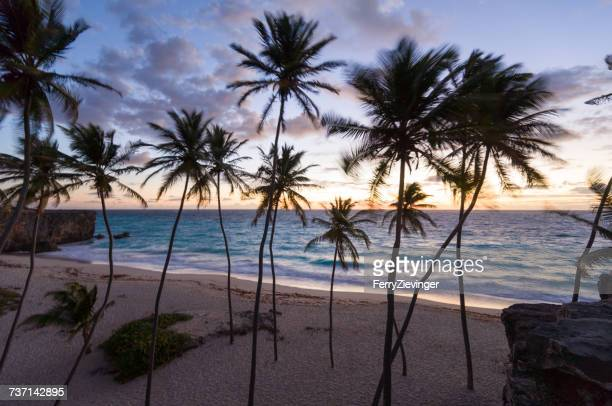 Palm trees on beach at sunrise, Barbados