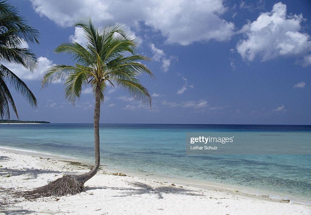 Palm trees on beach, Cuba : Stock Photo