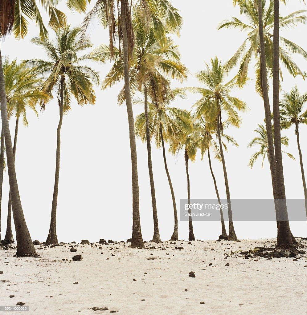 Palm Trees on Beach : Stock Photo