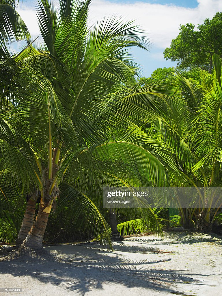 Palm trees on the beach, South West Bay, Providencia, Providencia y Santa Catalina, San Andres y Providencia Department, Colombia : Foto de stock