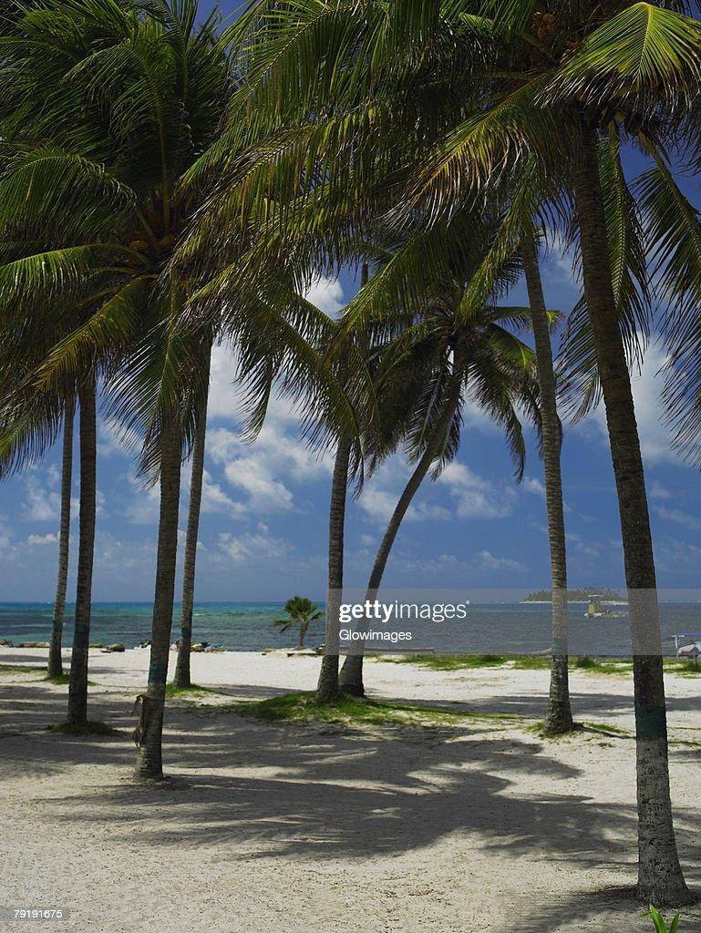 Palm trees on the beach, Spratt Bight Beach, San Andres, Providencia y Santa Catalina, San Andres y Providencia Department, Colombia : Foto de stock