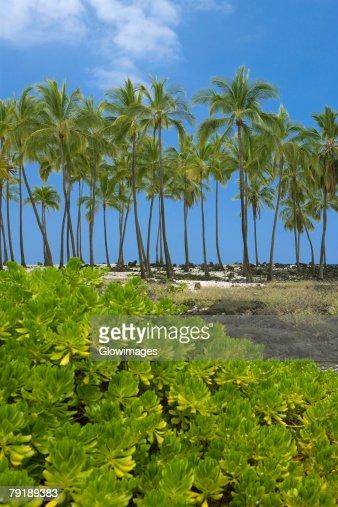 Palm trees on the coast, Puuhonua O Honaunau National Historical Park, Kona Coast, Big Island, Hawaii Islands, USA : Stock Photo