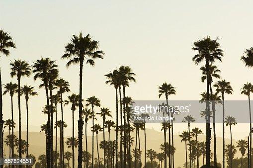 Palm trees on the edge of the Santa Barbara hills at sunrise.