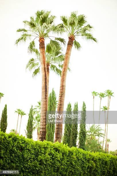 Palm trees, Palm Springs, California, USA