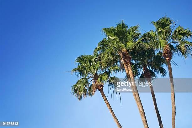 Palm Palmen