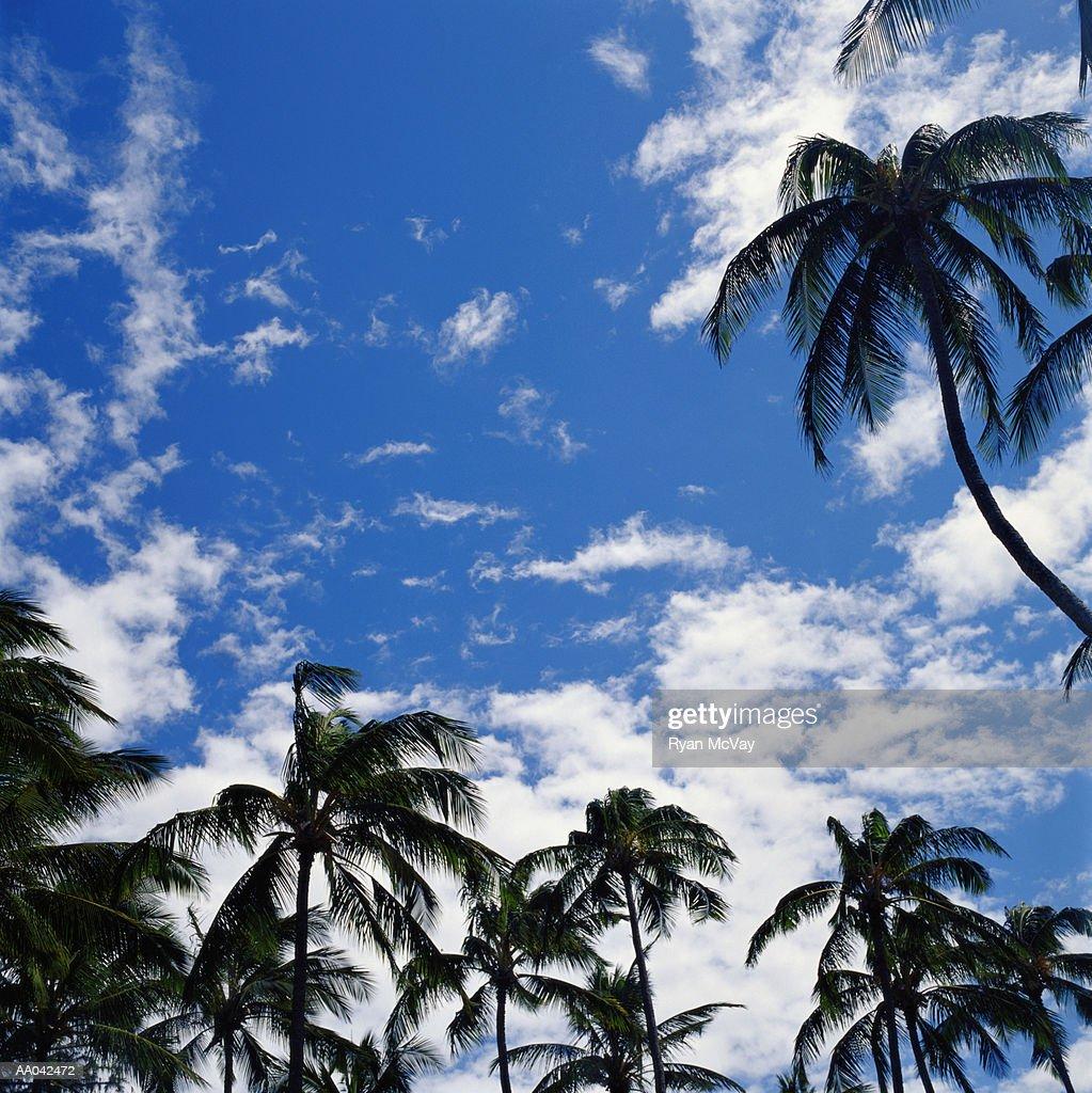 Palm Trees : Stock Photo