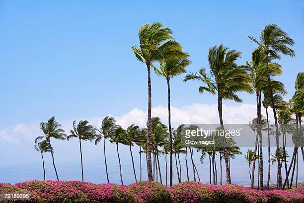 Palm trees swaying in the wind, Kona Coast, Big Island, Hawaii Islands, USA