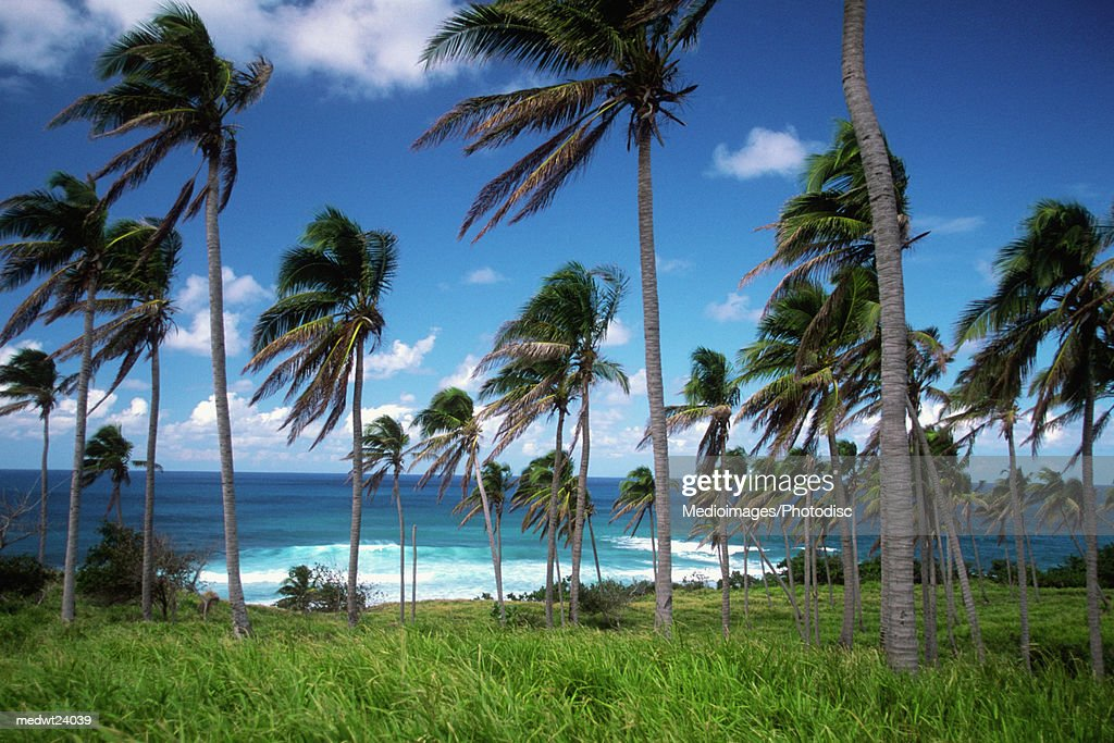 Palm trees with fronds blowing in the wind on Sandy Bay Beach on Saint Kitts, Caribbean