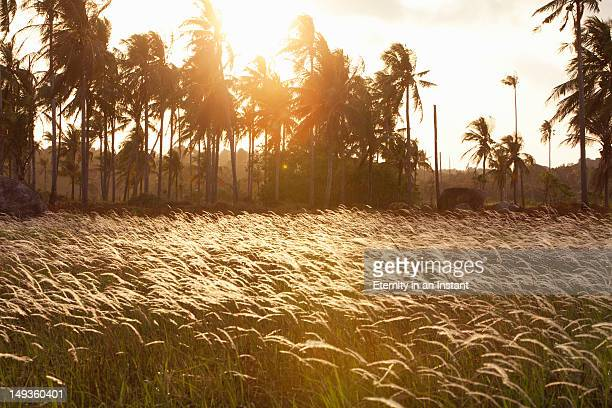 Palm trees with sun flare at sunset